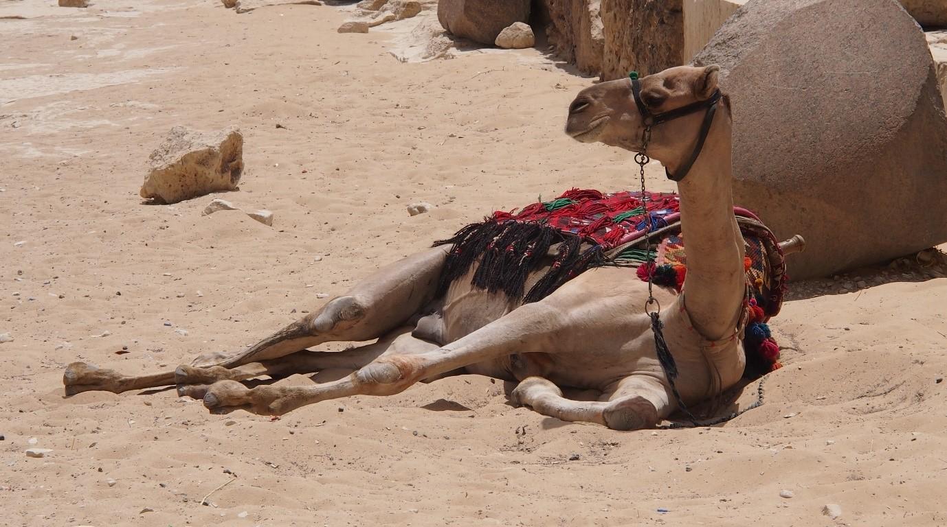 Egyptissä jopa kamelit ovat rennonoloisia