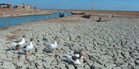 Ankkalauma kävelee kuivuneen joen varrella päiväsaikaan.